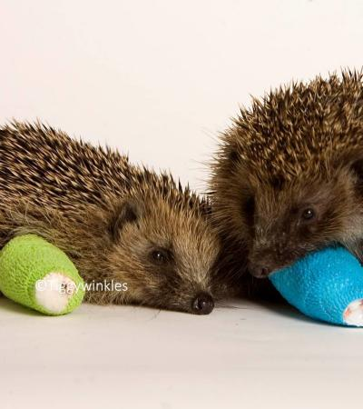 Hedgehogs at Tiggywinkles Wildlife Hospital Visitors in Aylesbury