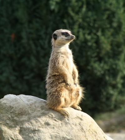 Meerkat at Battersea Park Childrens Zoo