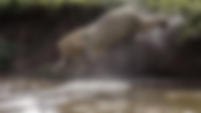 Polar bear diving into water at Yorkshire Wildlife Park