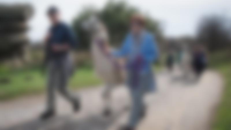 Visitors Llama trekking at Nidderdale Llamas in Harrogate