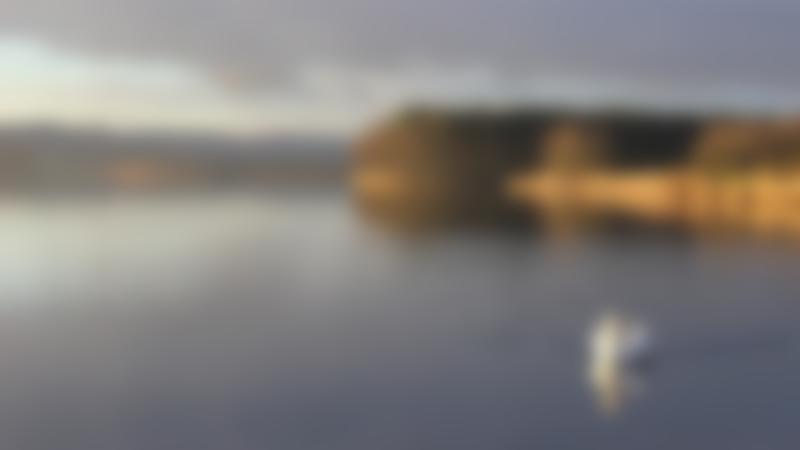 Swan in loch at Lochore Meadows Country Park in Lochgelly