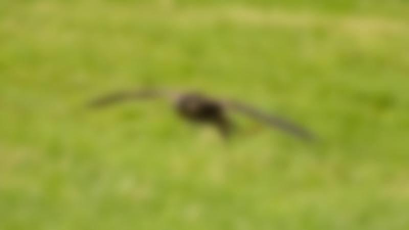 Falcon flying at Turbary Woods in Preston