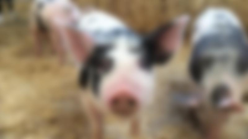 Pigs at Wheelock Hall Petting Farm in Sandbach