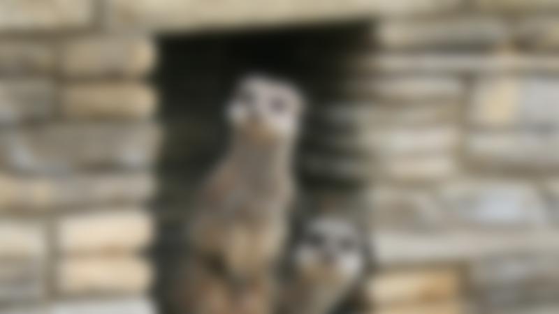 Meerkats at Natureland Seal Sanctuary in Skegness