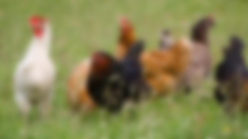 Chickens at Broom House Farm and Forest in Durham