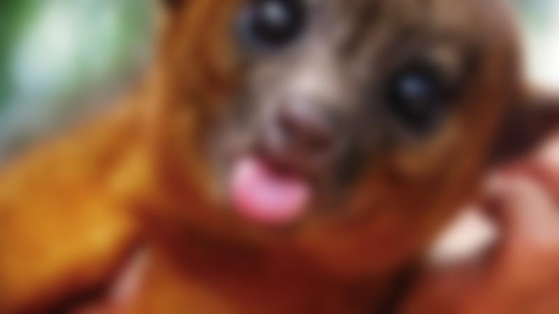 Kinkajou at Ark Wildlife Park in Stickney
