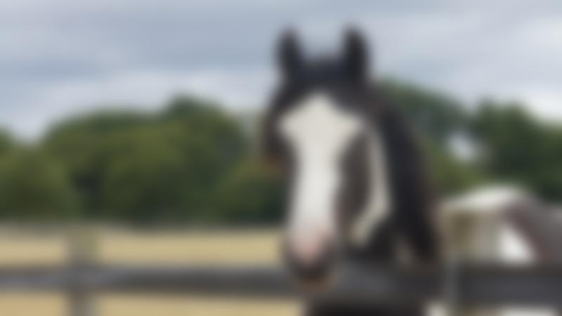 Horse at Redwings Ada Cole in Nazeing