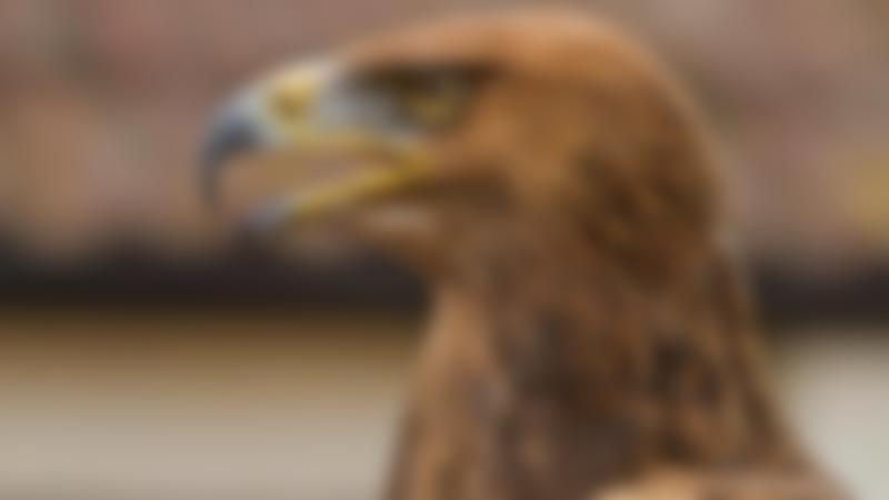 Falcon at Yaraks Bird of Prey in Cullompton