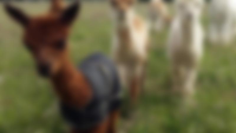 Alpacas at West Wight Alpacas in Wellow