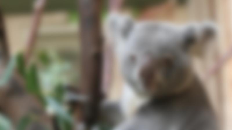 Ababy Koala at Edinburgh Zoo