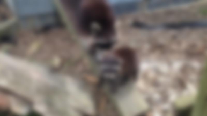 Raccoons at Hamerton Zoo Park