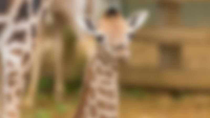 Baby giraffe at Woburn Safari Park in Milton Keynes