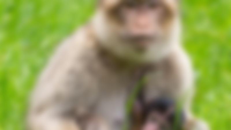 Barbary monkey and baby at Woburn Safari Park in Milton Keynes