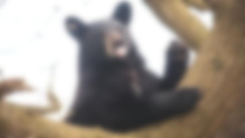 Black bear at Woburn Safari Park in Milton Keynes