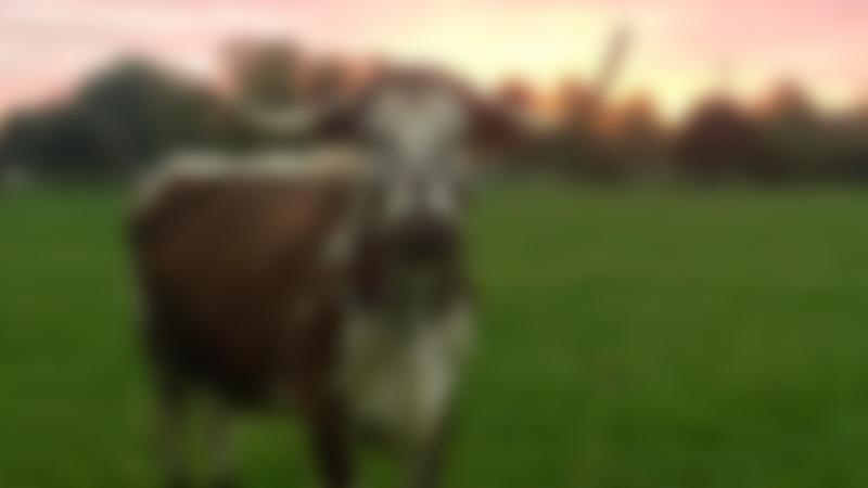 Pineywood Cattle at White Post Farm Centre in Farnsfield
