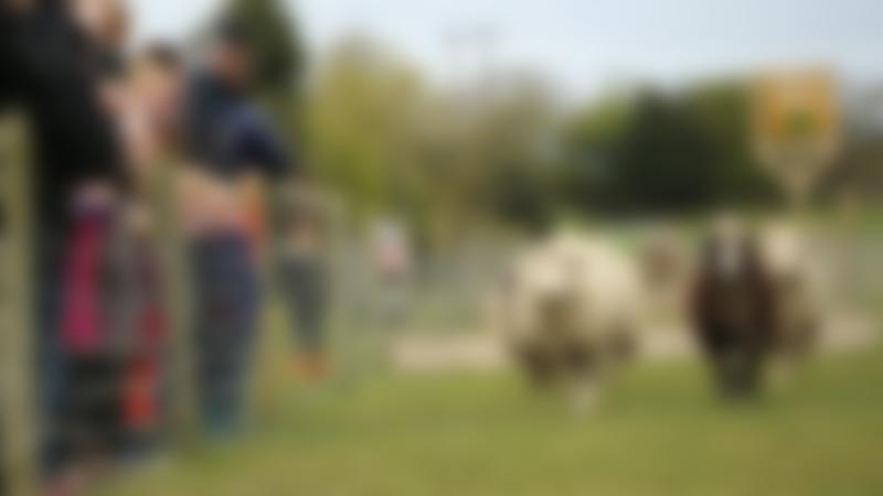 Sheep racing at White Post Farm Centre in Farnsfield