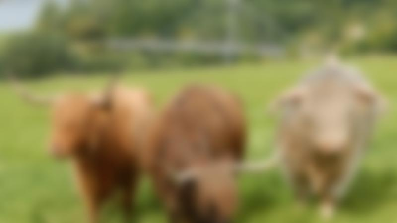 Rother Valley Country Park Adorable Bulls
