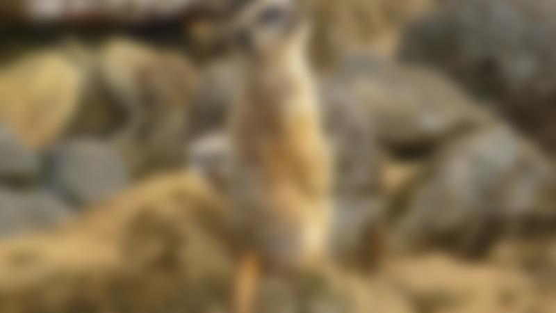 Meerkats at Beale Park in Reading