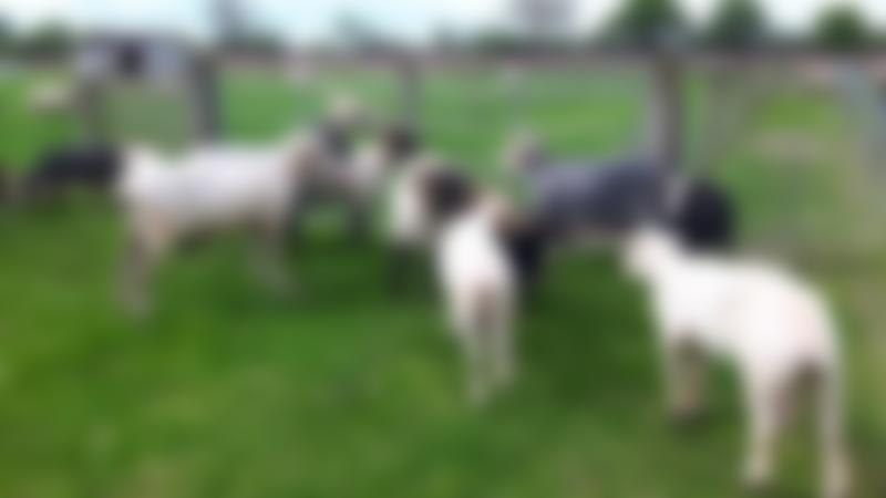 Sheep at Melsop Farm Park in Scoulton
