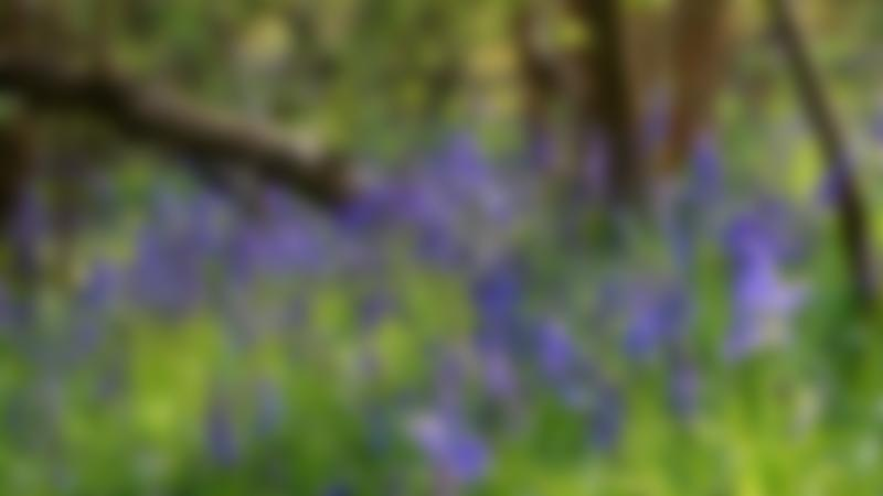 Bluebell flowers at Sanstone Trail in Chester