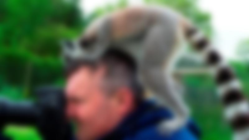 Lemur on man's head at Lake District Wildlife Park in Keswick