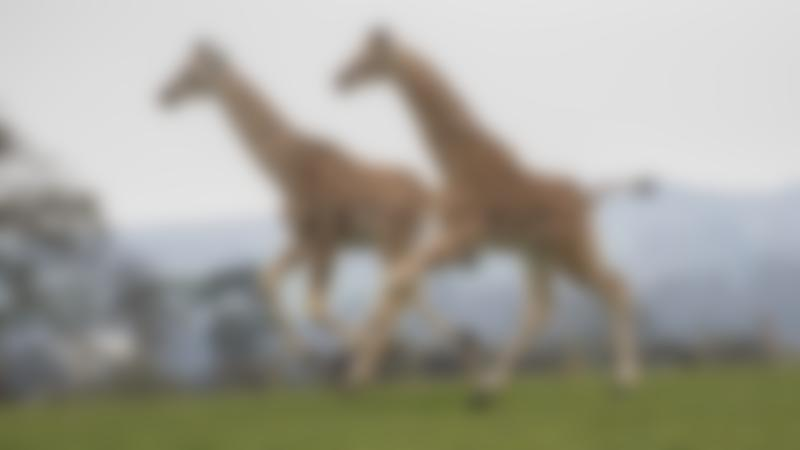 Some giraffes running at West Midland Safari Park at Bewdley