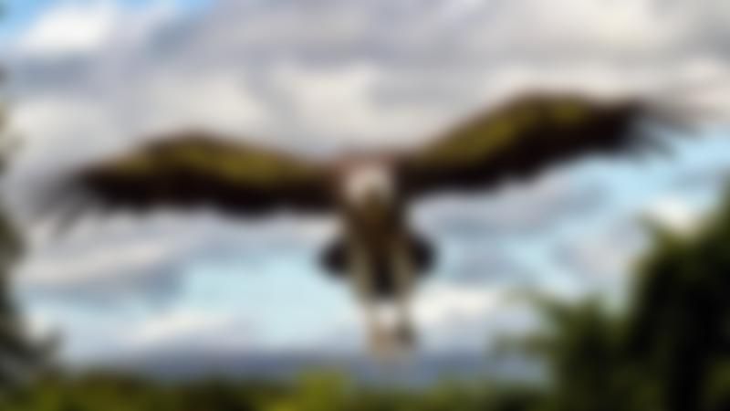 Falcon flying at World of Wings in Cumbernauld