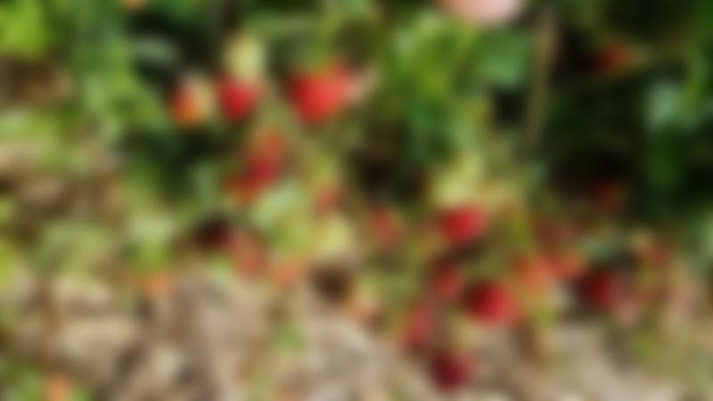 PYO Strawberries at Hillfield Nursery & Farm Shop in Norwich