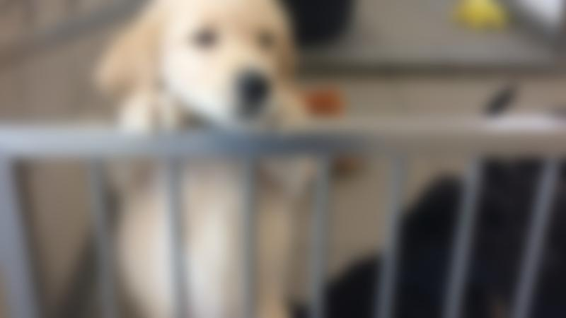 Puppies at Guide Dogs National Breeding Centre in Leamington Spa