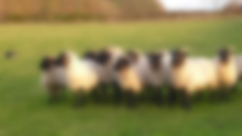 Sheep at Church Farm Stow Bardolph in Downham Market