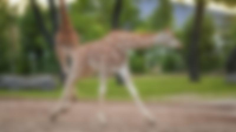 Rothschild's Giraffe at Chester Zoo