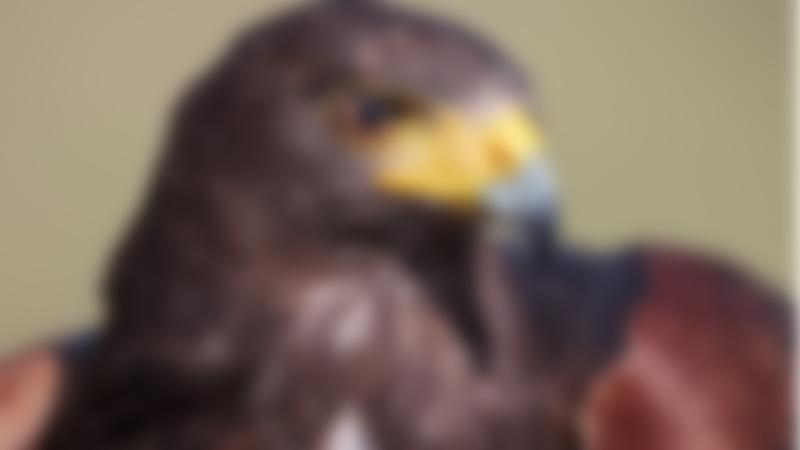 Falcon at Hawkridge Bird of Prey Centre in Exmouth