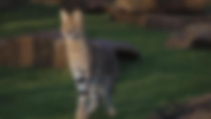 Serval animal at Ponderosa Zoo