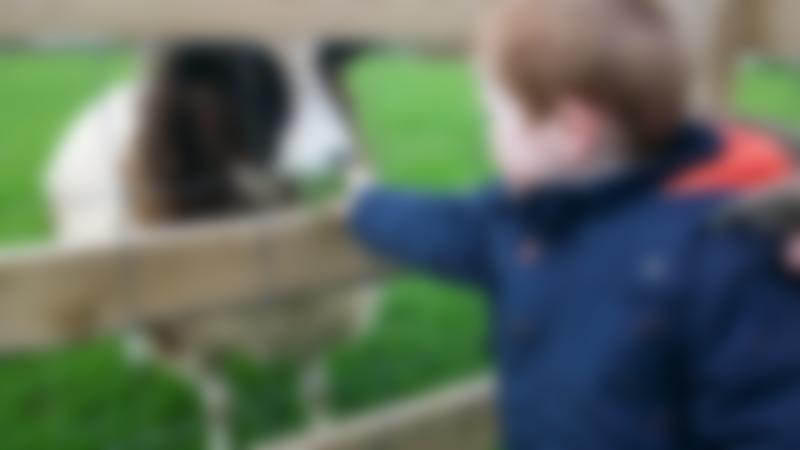 Boy feeding sheep at Hollow Trees in Ipswich
