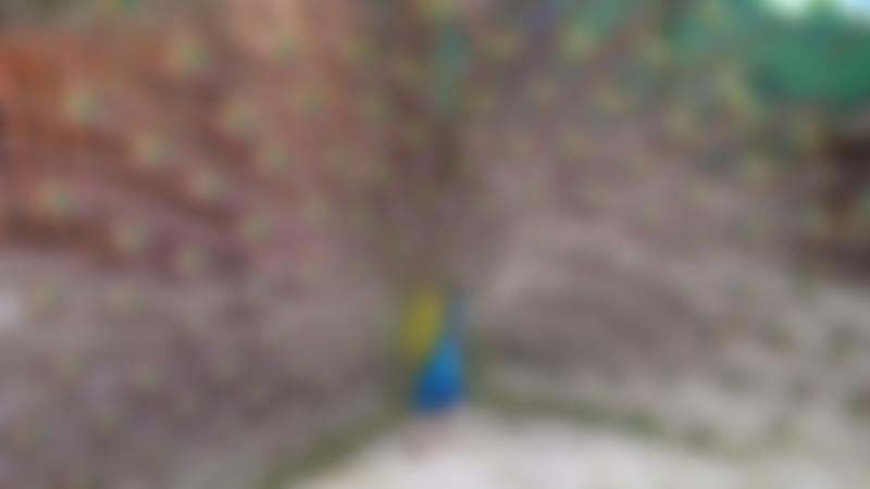 Peacock at Tweddle Childrens Animal Farm in Hartlepool
