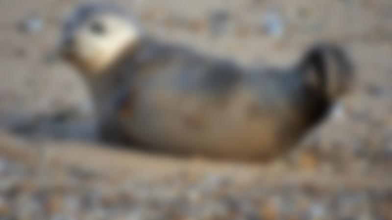 Seal at Bishops Boats Seal Trips in Blakeney