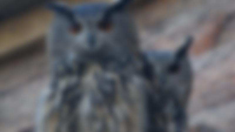 Owls at Eshottheugh Animal Park in Morpeth