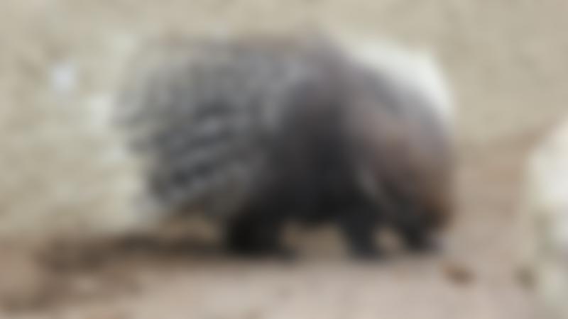 Porcupine at Eshottheugh Animal Park in Morpeth