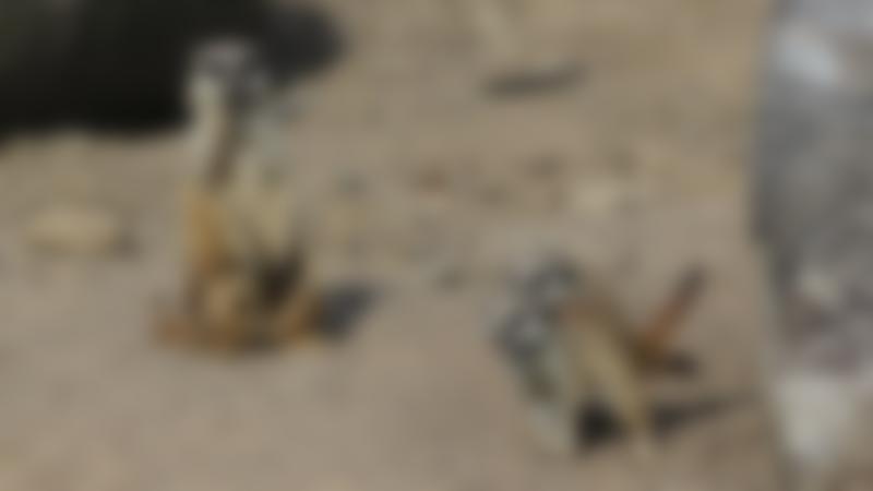 Meerkats at Eshottheugh Animal Park in Morpeth