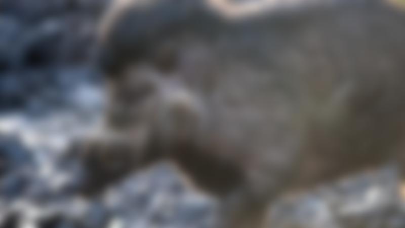 Visayan Warty Pig in Peak Wildlife Park in Leek