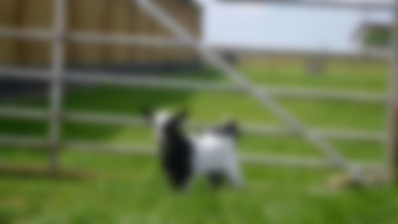 Goat at Hardys Animal Farm in Skegness