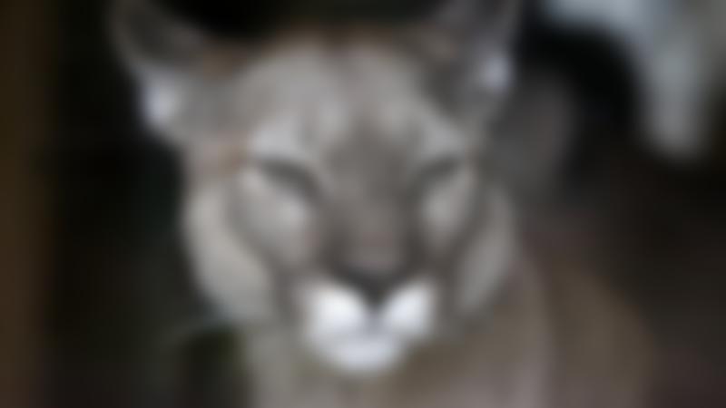 Mountain Lion at Amazona Zoo in Cromer