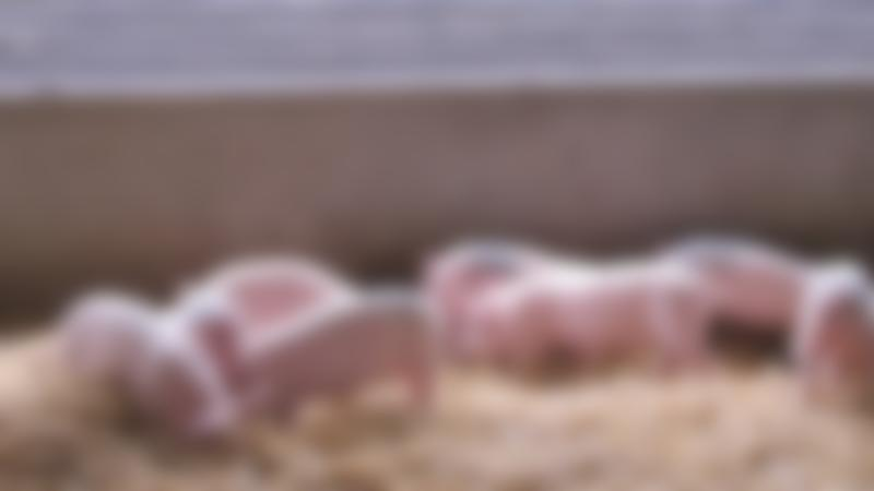 Piglets at Wimpole Home Farm from Royston