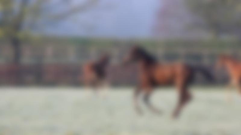 National Stud horse prancing