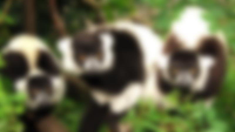 Lemurs at Shepreth Wildlife Park