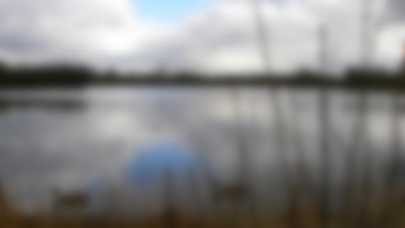 Geese in lake at Rickmansworth Aquadrome Nature Reserve