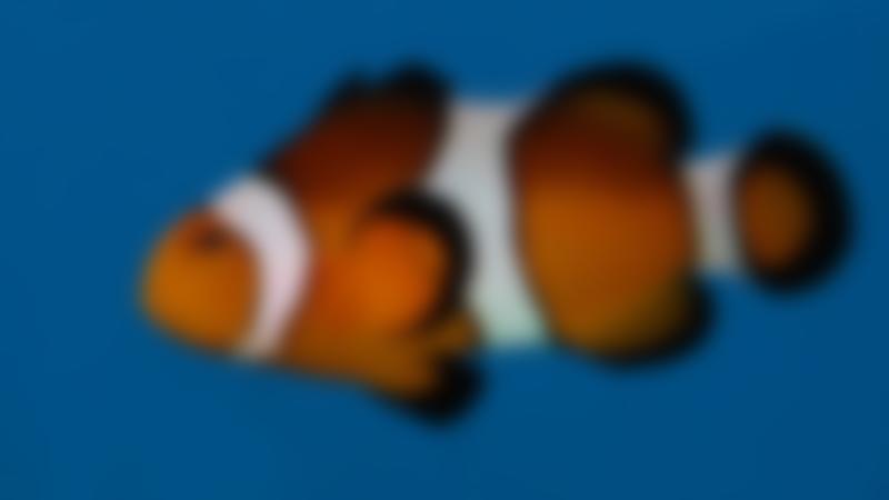 Clownfish at Lake District Coast Aquarium in Maryport