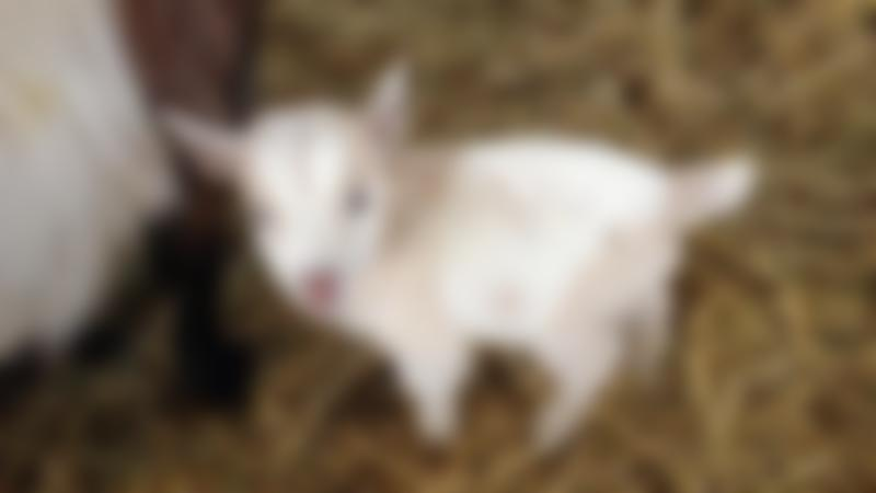 Goat at Rookery Open Farm in Towcester