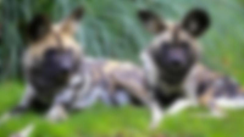 African painted dogs at Africa Alive in Lowestoft