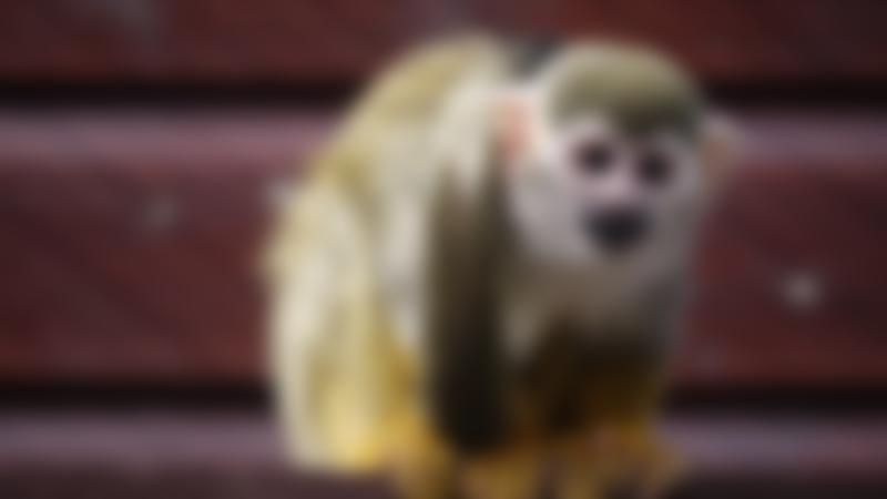 Monkey at Monkey Haven in Newport